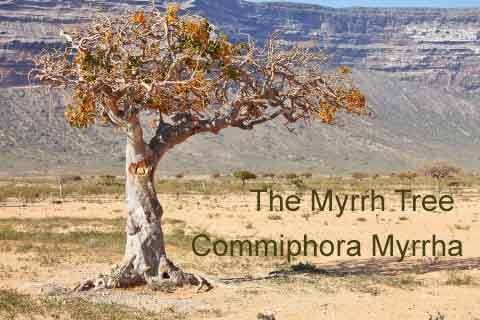 The Myrrh Tree Commiphora myrrha